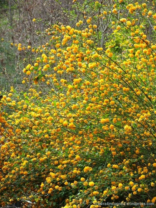 kerria japonica pleniflora shrubs pinterest. Black Bedroom Furniture Sets. Home Design Ideas