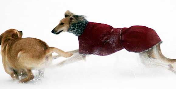 saluki snow coat