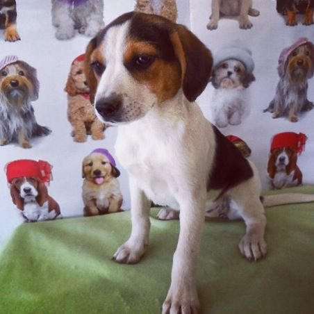 Precious baby beagle/blue heeler mix | these are a few of my favorite ...