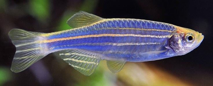 GloFish Danio : Glofish danio ...