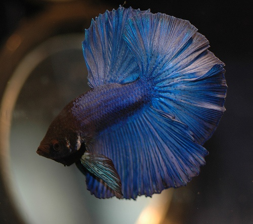 Half Moon Blue Betta Sarawut How To Take Care Of A