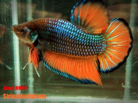 Giant halfmoon plakat Siamese Fighting Fish Pinterest