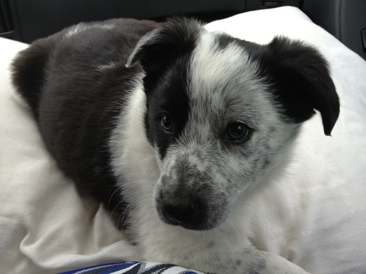 Blue Heeler Border Collie Cross. My adorable Karma.