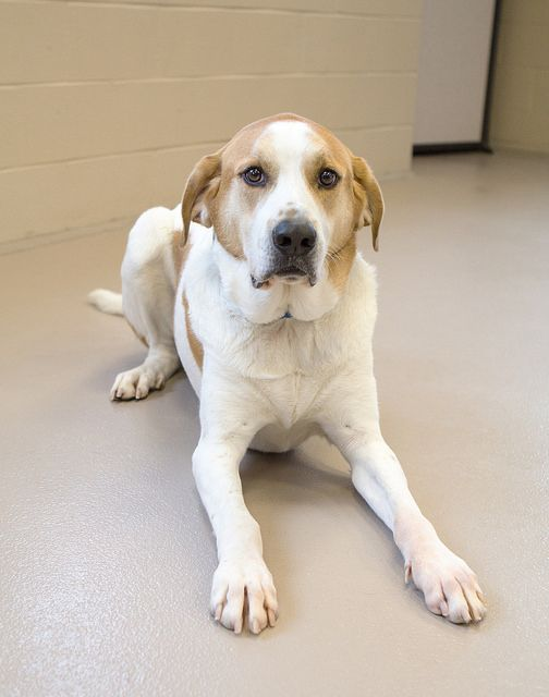 Buster - 2.5 years old Neutered Male Smooth Coat St. Bernard Mix ...