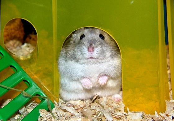 Russian dwarf hamster dwarf hamster pinterest