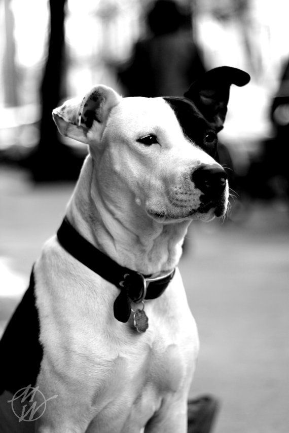 Dog Photos Pitbull Black and White Pets Child s by whywanderlust   15    Black And White Pitbull Dogs