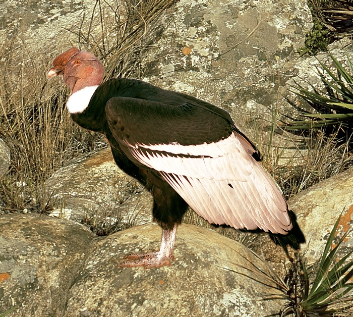 condor-dos-andes-vultur_gryphus.jpg (700×628)