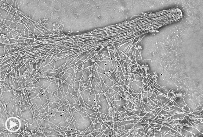 Movie: The video zooms into a tomogram section of lamellipodium on a mouse NIH3T3 cell, showing the general organization of the actin network, including the actin filament substructure. The cell was fixed in Triton/glutaraldehyde and negatively stained.