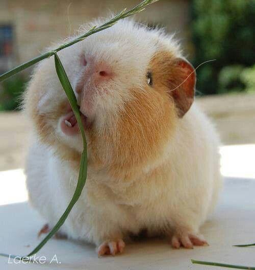 Guinea Pig Tumblr