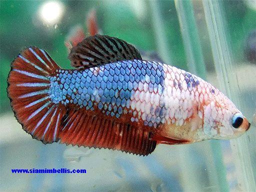 Koi fancy pk hm female betta how to take care of a betta for Female koi fish