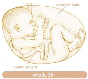Week by Week Pregnancy Calendar – Week 36