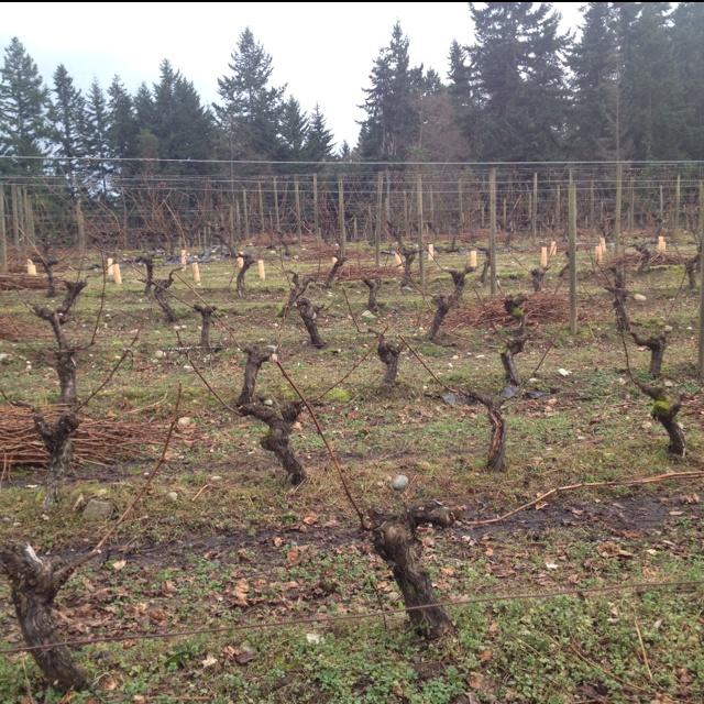 Pruned Siegerrebe vines, Whidbey Island Winery, Puget Sound AVA, WA.