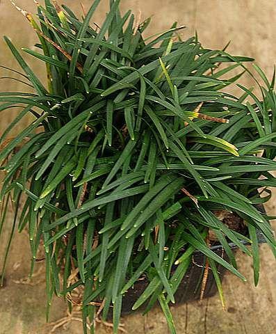 Dwarf mondo grass monkey grass ornamental grasses for Dwarf decorative grasses