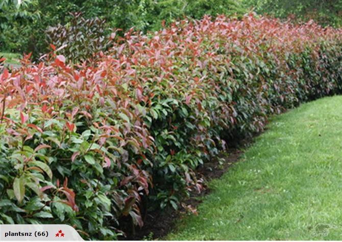 Photinia 'Super... Liriope Muscari Evergreen Giant