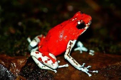 """Harlequin Dart Frog - """"El Pangan"""""""