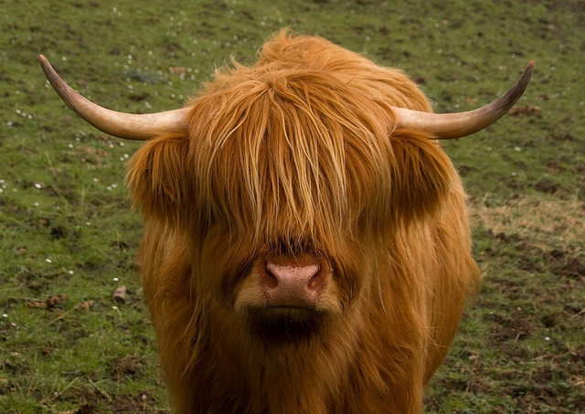 Muckle Coo Scottish Highland Cow Adorable Animals