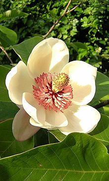 Magnolia × wieseneri