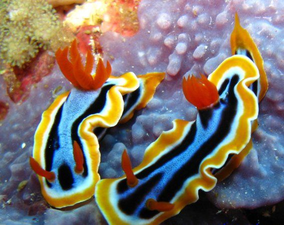 Chromodoris - The Most Vivid Colors of the Sea: Sea Slugs