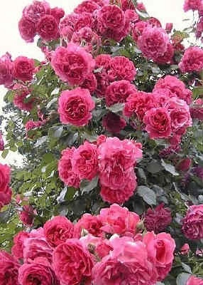 rosarium uetersen climbing roses pinterest. Black Bedroom Furniture Sets. Home Design Ideas
