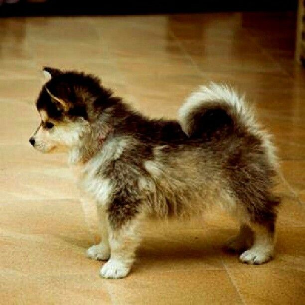 the gallery for gt pomeranian husky mix full grown