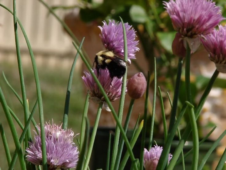 My chives have flowers, and that seems to be a good thing - cool recipes here!