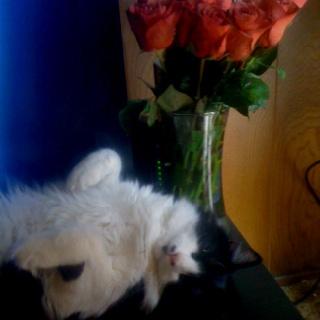 Fluffy cat posing
