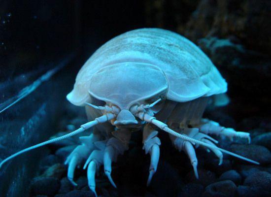 strange sea creatures   isopods beautiful sea creatures