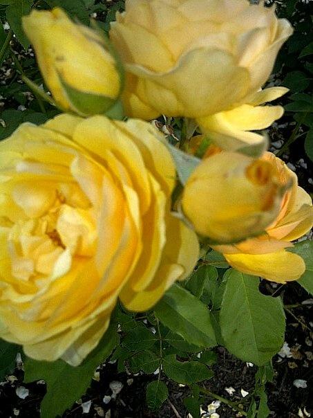 Yellow roses roses yellow pinterest