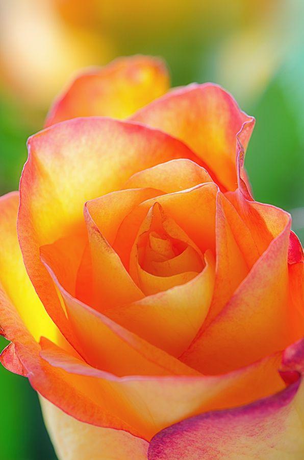 Rosy Glow