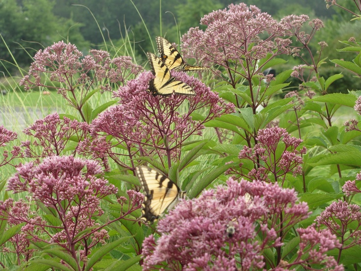 Pin by garden design for living on joe pye weed for Joe pye weed
