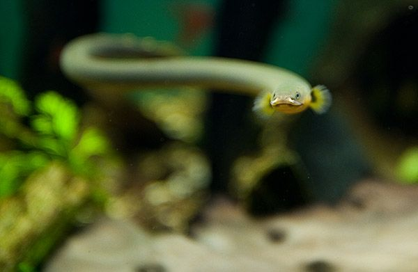 Unique Freshwater Species Freshwater inhabitants Pinterest