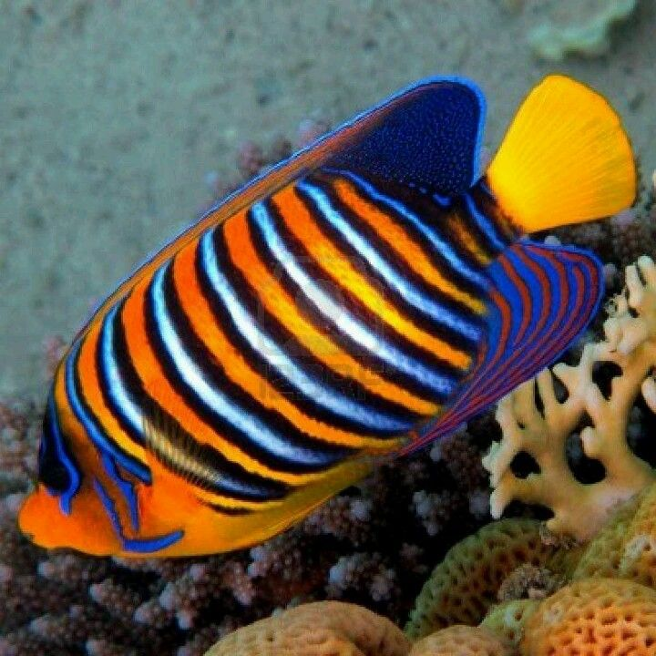 Saltwater Regal angel fish | Under the Sea Pictures ...
