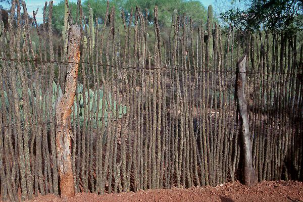 Ocotillo fence (Fouquieria splendens) - the dead spears also make a wonderful keep-everything-out fence and is often the choice in rural areas.