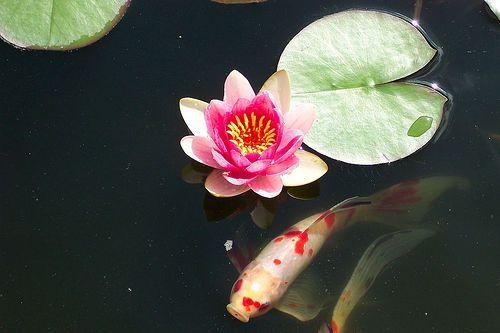 Lotus plants koi pond yard and garden pinterest for Koi fish pond lotus
