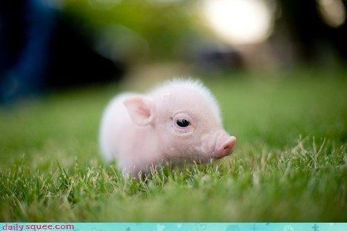 Too Cute: Baby Pig