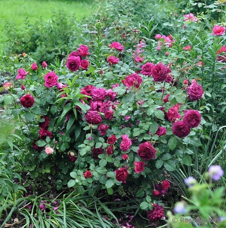 munstead wood roses pinterest. Black Bedroom Furniture Sets. Home Design Ideas