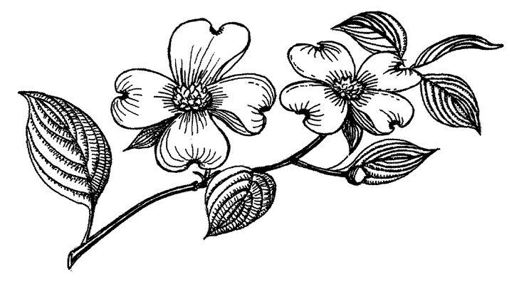 dogwood flowers | Drawings | Pinterest