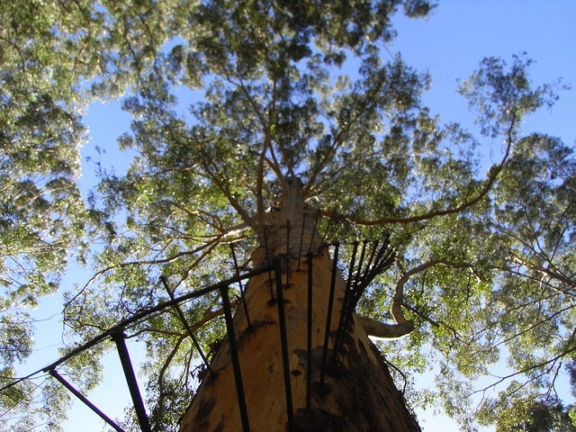 Gloucester Australia  city pictures gallery : The Gloucester Tree Australia | Places I am Blessed to have been | Pi ...