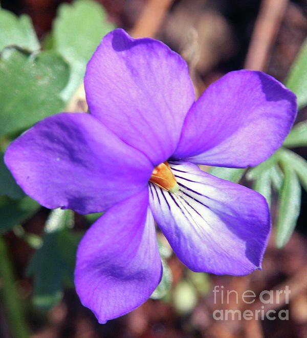 Wild Violet | Everything Purple | Pinterest: pinterest.com/pin/267471665343133231