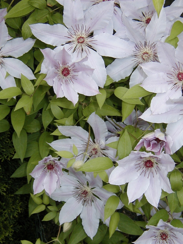 clematis 39 nelly moser 39 chicago garden noble gardens. Black Bedroom Furniture Sets. Home Design Ideas