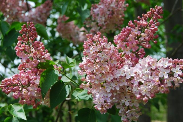 New lilac slideshow call me old fashioned