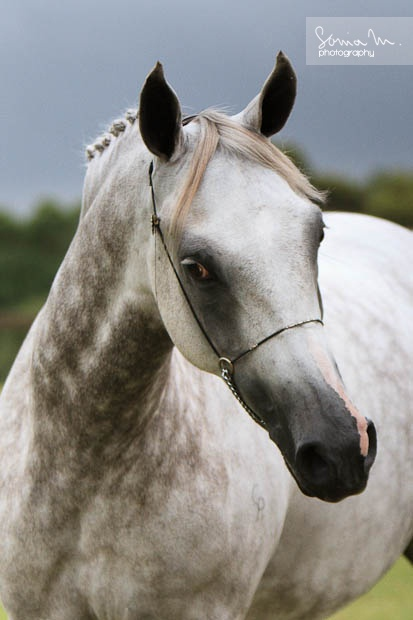 Beautiful Arabian horse. Love his ears and expression!
