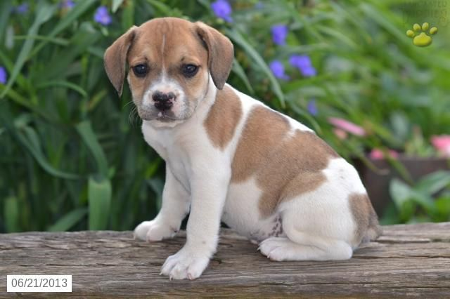 ... Beabull Puppy for Sale in Holmesville, OH - Beabull - Puppy for Sale