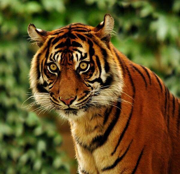 Beautiful bengal tiger... | animals | Pinterest