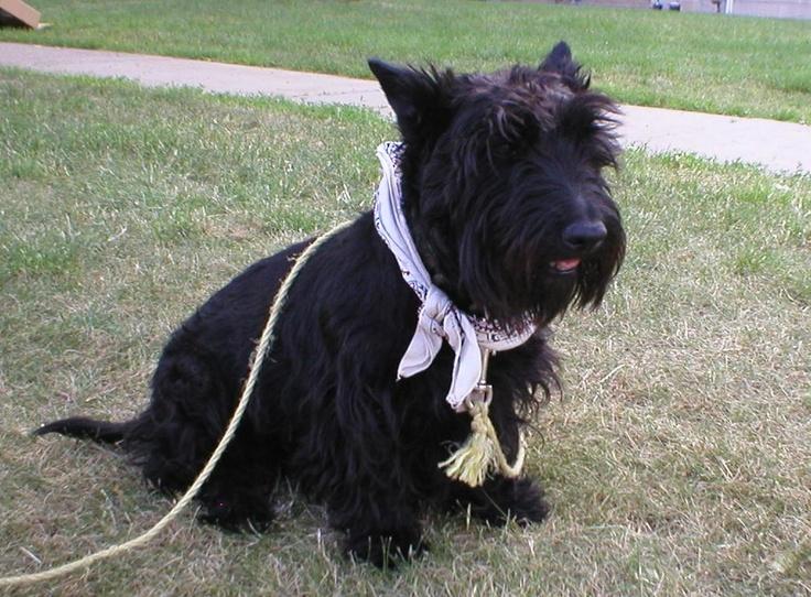 Scottie Dog Haircut