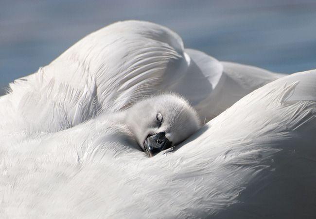 Swans Sleeping