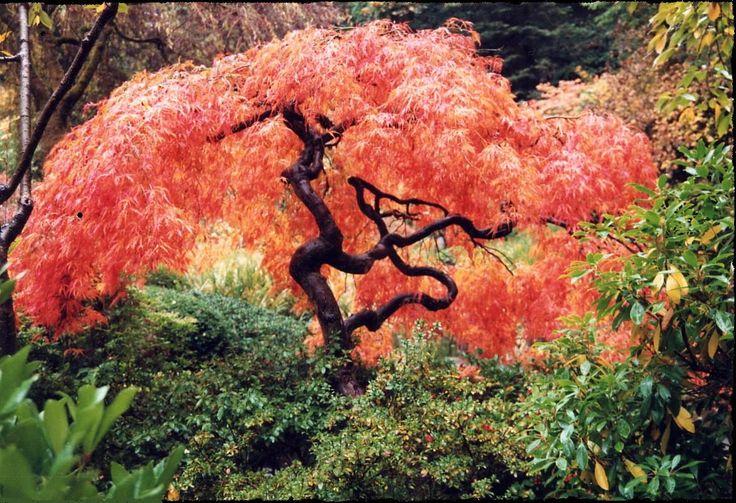 Zen Koi Ponds Japanese Maple Crayon Box Pinterest