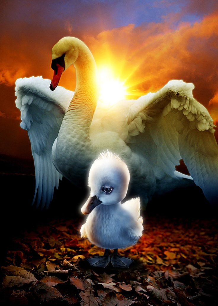 the ugly duckling swans pinterest