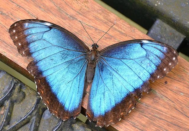 Blue morpho butterfly tattoo - photo#26