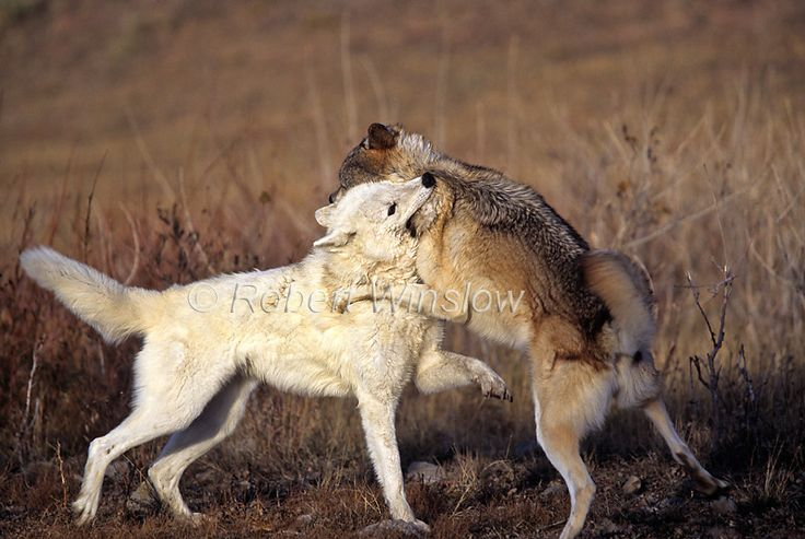 Two Gray Wolves fighting, Canis lupus, | Wolves and ...